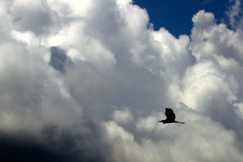 Blue Heron Flying across the clouds