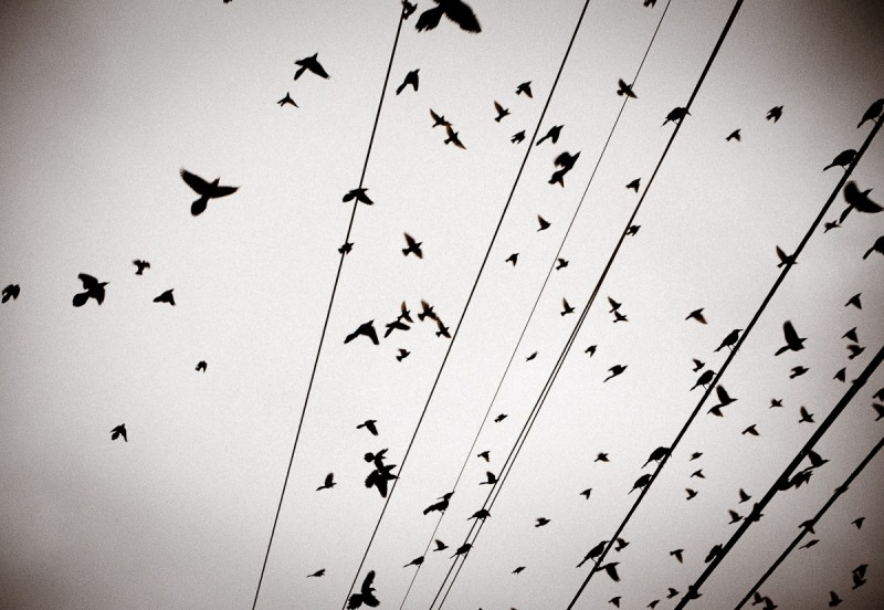 Birds flocking to electric wires