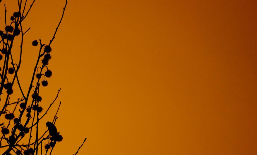 Songbird in a tree at sunset